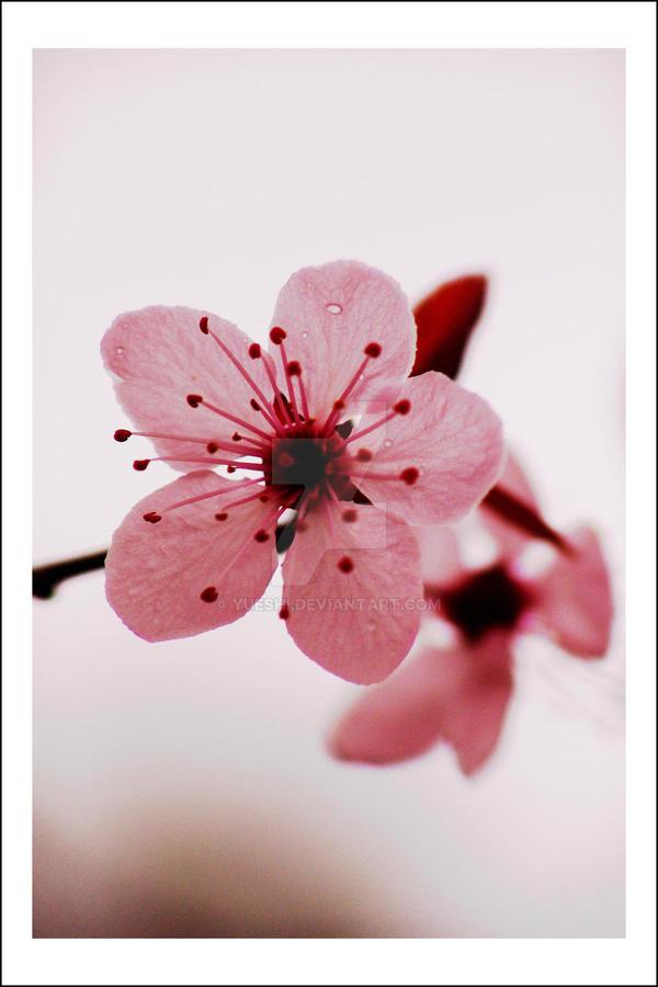 Blossom by Yueshi