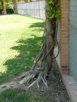 root stock 8