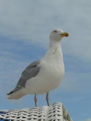north sea gull