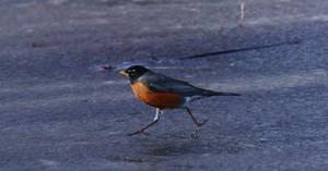 Walking or running bird by TommyGK