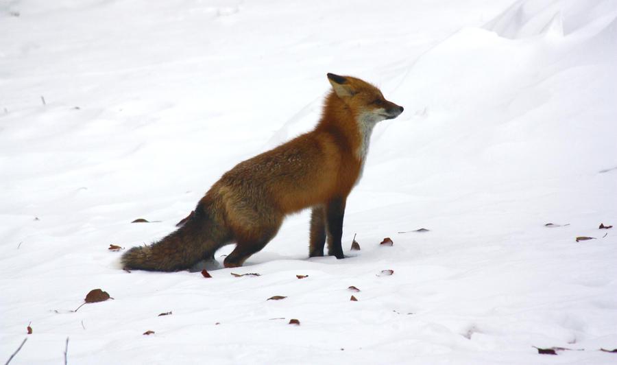 Fox by TommyGK