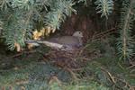 Mourning Dove Nesting
