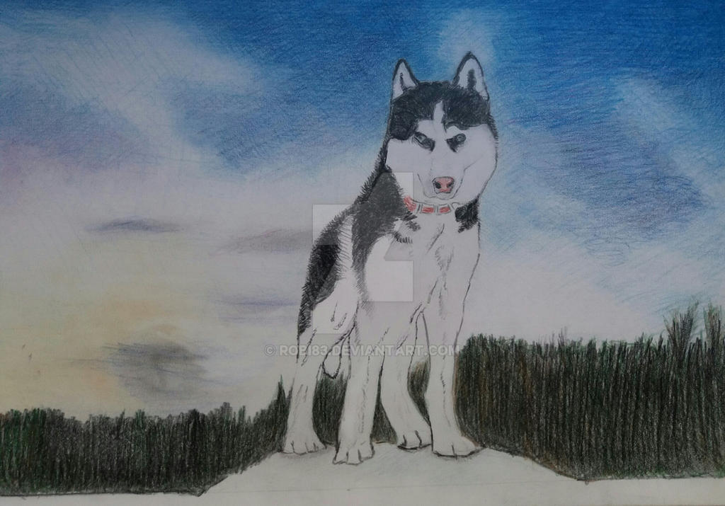 Huskey Siberian by robi83