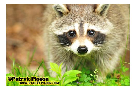 Canadian Raccoon