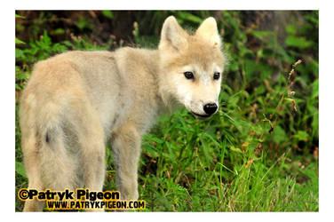 Baby Arctic White Wolf by MrSyn