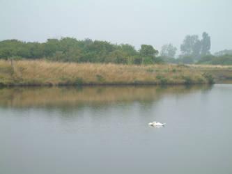 Swan by chris3290