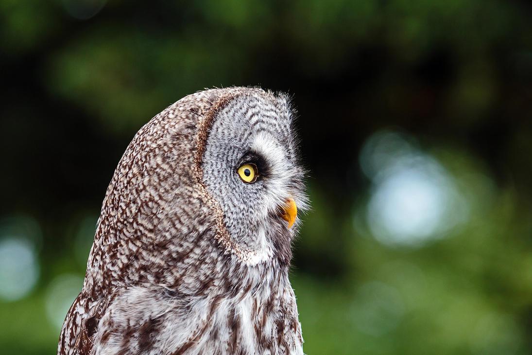 Owl at La Volerie Des Aigles by MichaWha
