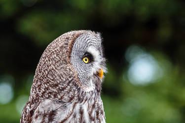 Owl at La Volerie Des Aigles