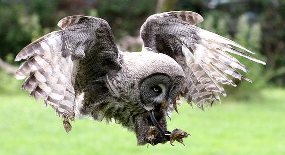 Great Grey Owl by hoodoo