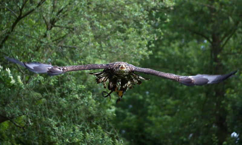 American Bald Eagle by hoodoo