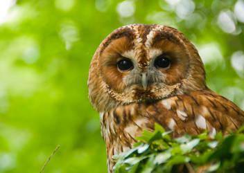Tawny Owl by hoodoo