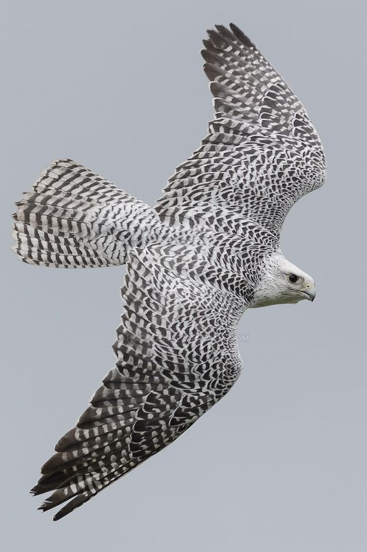 How Do Gyrfalcon S Affect The Food Chain