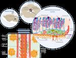 Cerebellar neurogenesis by GraphiqueScience