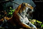Sleepy Tiger by WorldsInWorld
