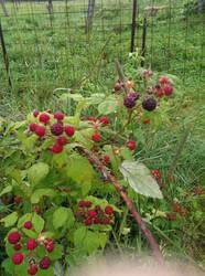 Blackberries by Agriking
