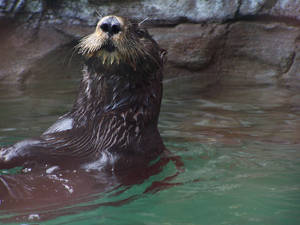 Sea Otter: Above the Blue