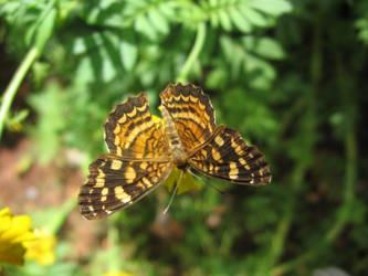 Jewel of Butterflies by gypsyreik
