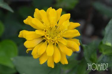 Yellow Daisy by jhoimadz