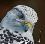 Artic Falcon