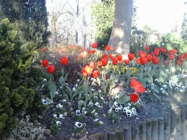Tulipanes by MademoiselleRosa