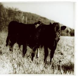 bulls by fresvik