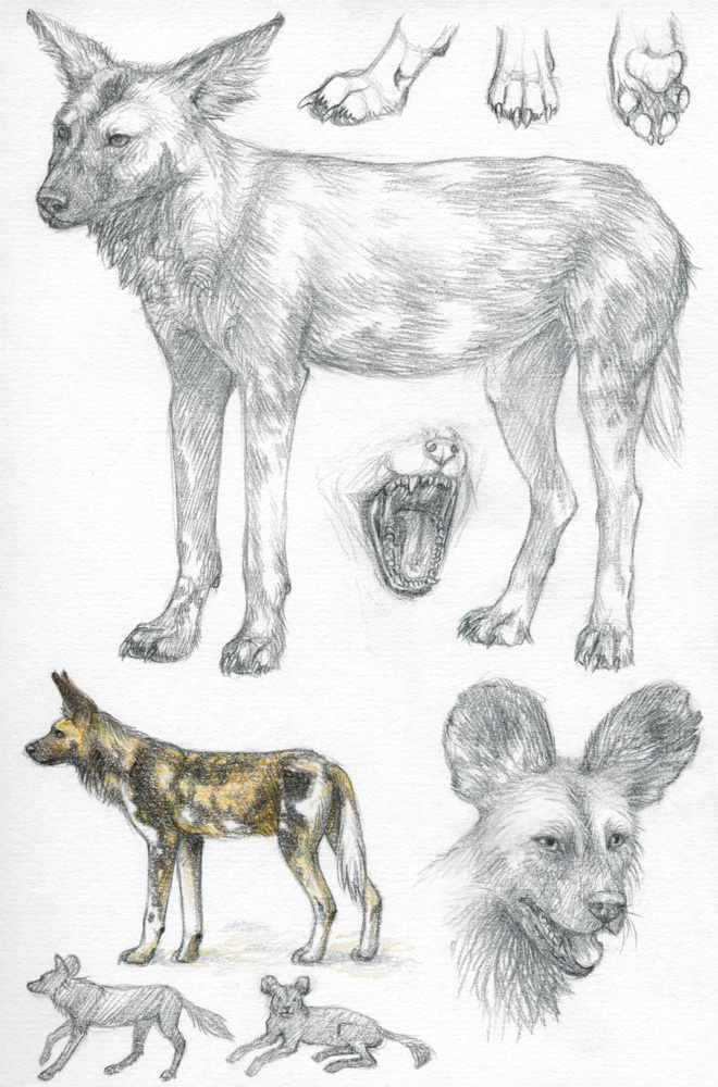 ASP2: African wild dog by Dragarta on DeviantArt