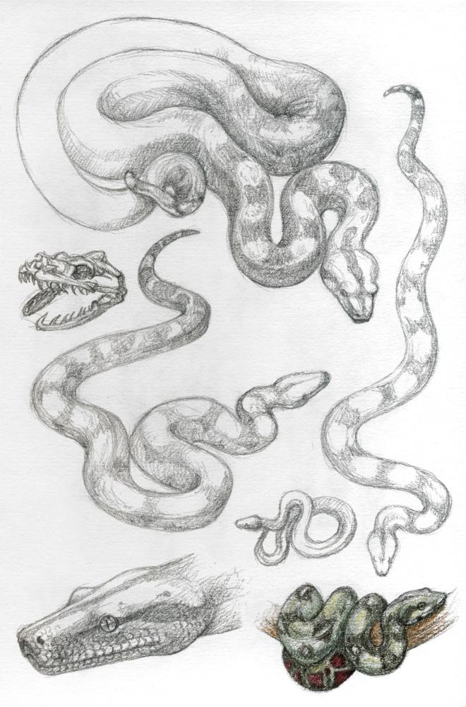 Asp5 Boa Constrictor By Dragarta On Deviantart