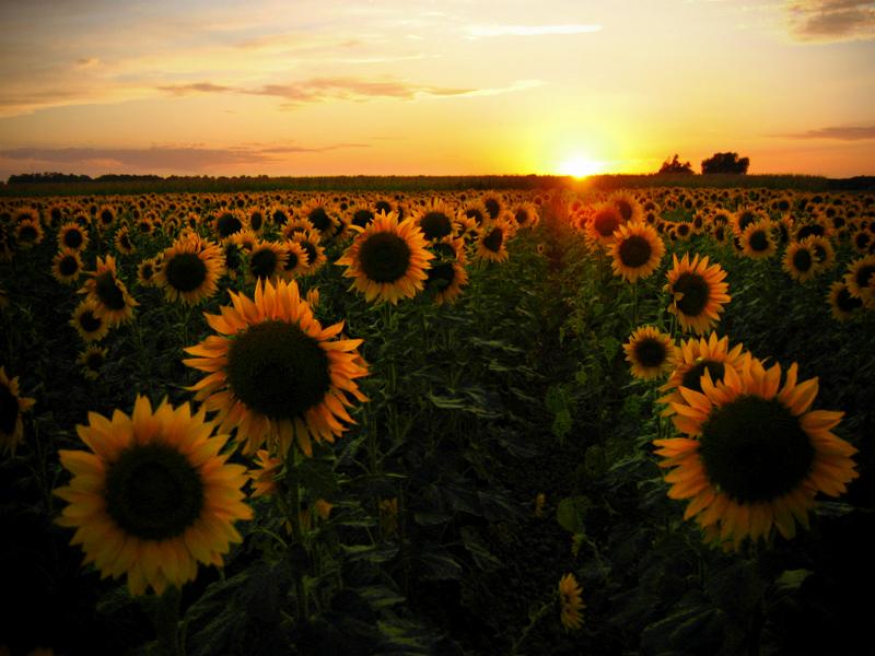 Sunflower Field: original by junshien