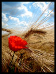 Corn field with corn poppy by Satyrion