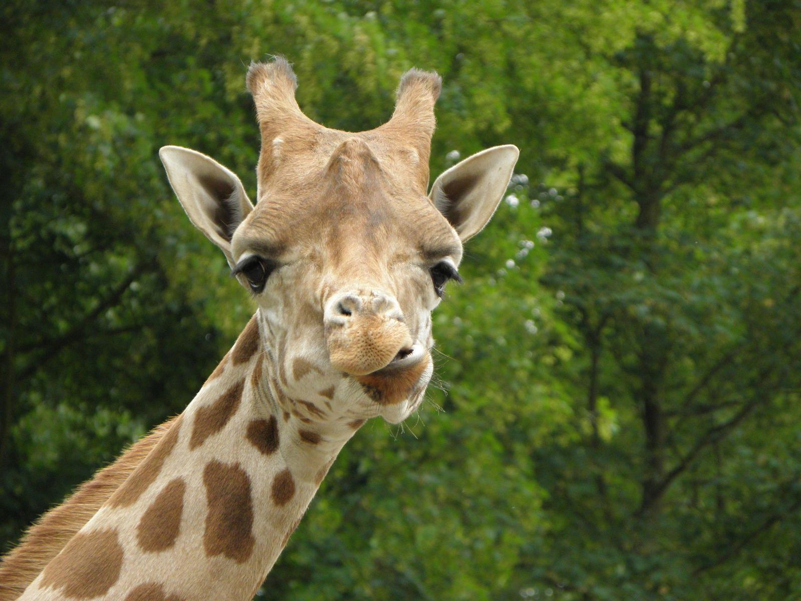Прикол картинка жираф, картинки