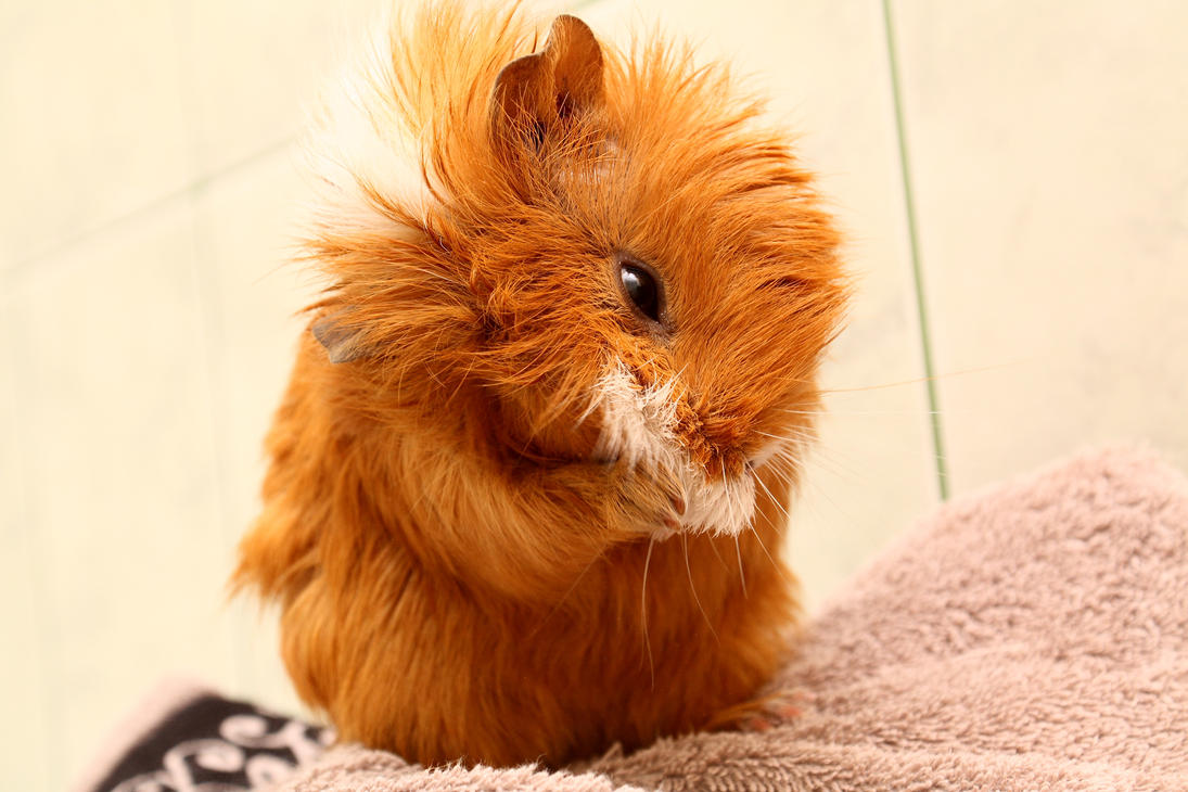 How To Litter Train A Guinea Pig