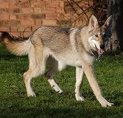 A Wolf by Pych-Koda