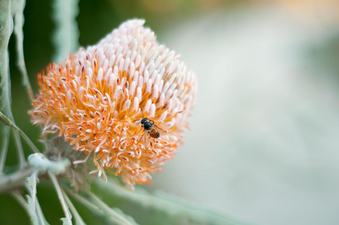 Australian Banksia by David-Lee-Evans