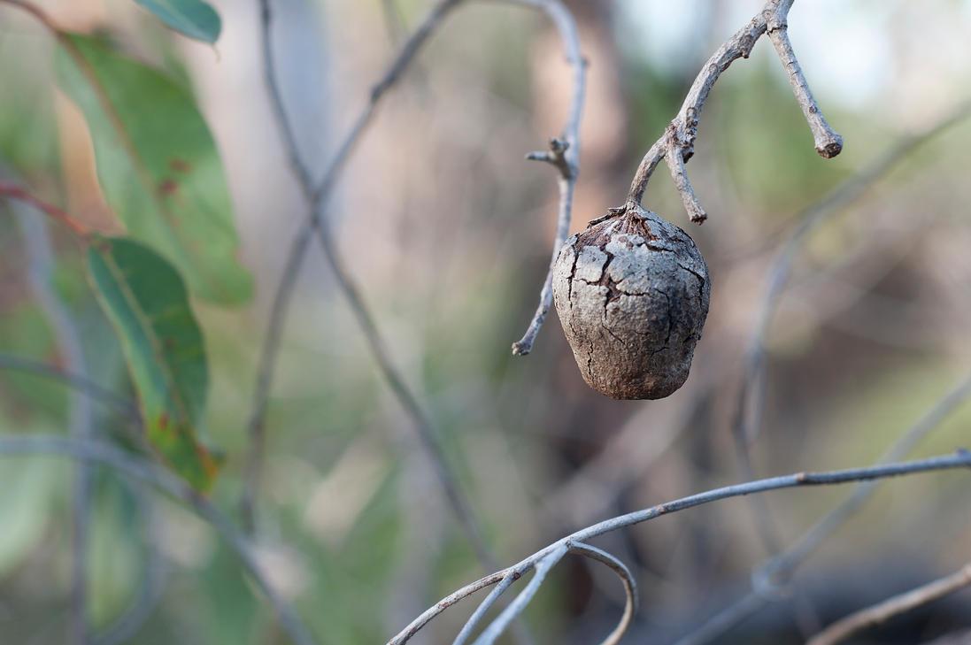 Australian Honkey nut by David-Lee-Evans