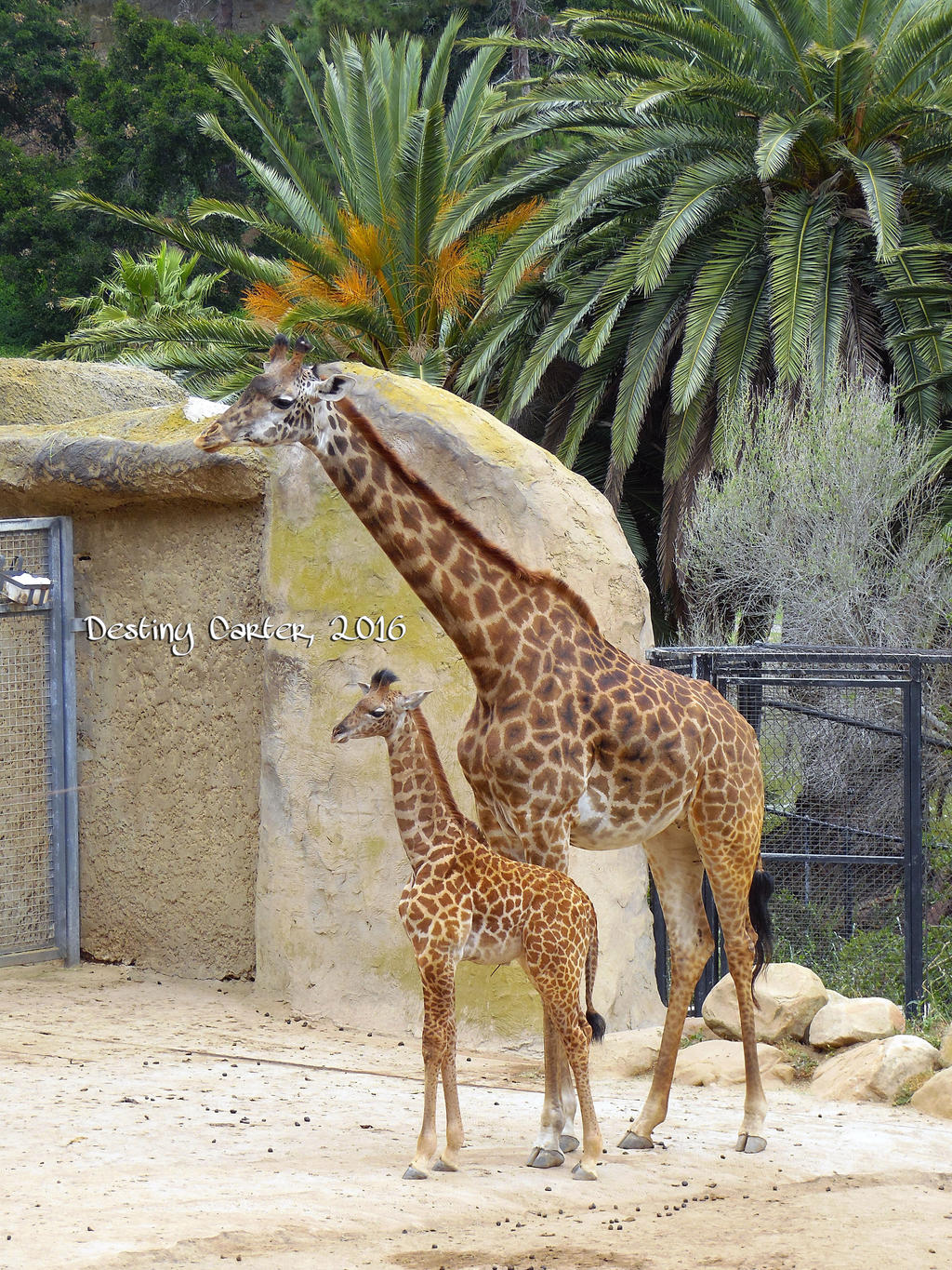 Baby Chad the Giraffe by Destiny-Carter
