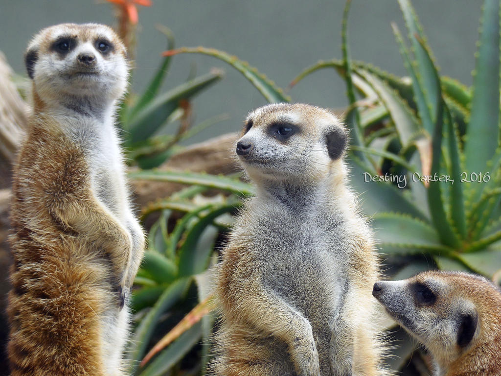 Meerkat Trio by Destiny-Carter