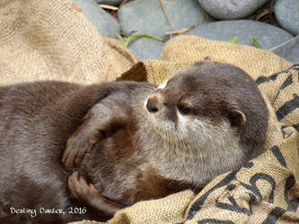 Otterly Adorable by Destiny-Carter