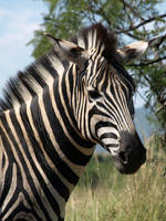 Zebra by samboardman