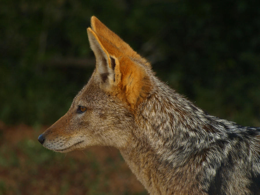 Black-backed Jackal by samboardman