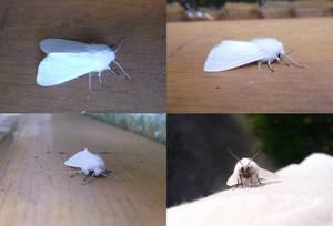Solo white moth