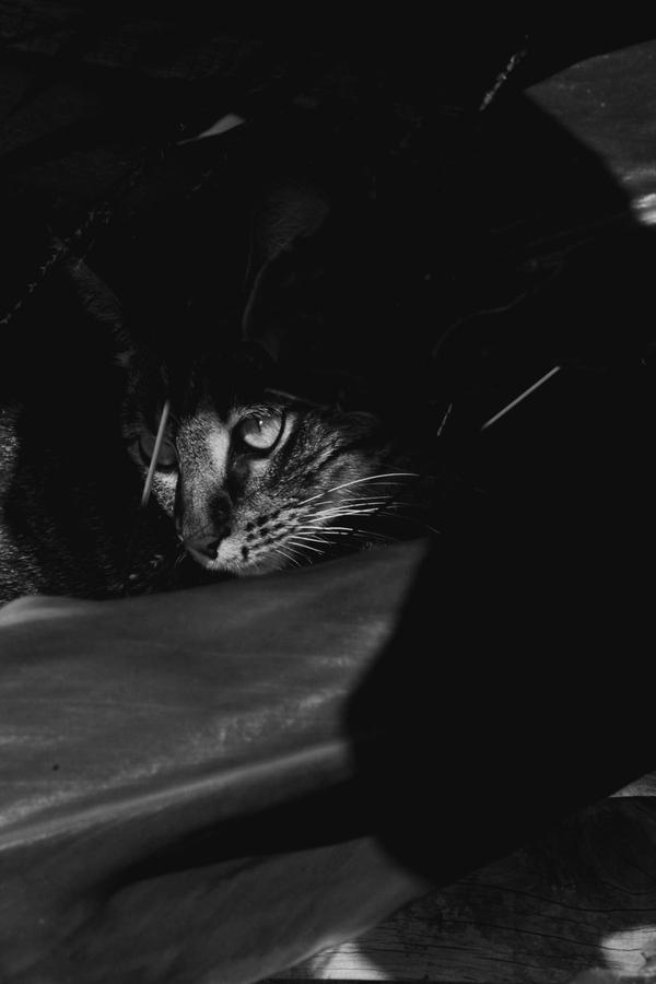 feline by classicsmile