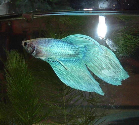 My new betta fish by demonkitten13 on deviantart for Betta fish together