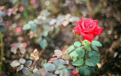 Red with thorns by XS-Tarsier