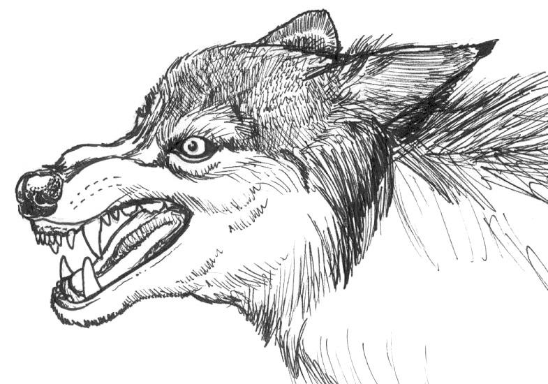 Wolf snarling side view drawing - photo#23