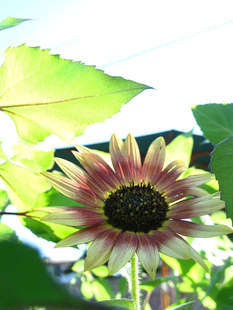 Summer Sunflower Highlight by EclispeFlower