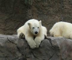 Polar Bear by unholycuteness