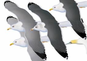 Large gulls and a gannet printscreen