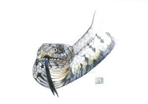 Natrice (Natrix natrix)
