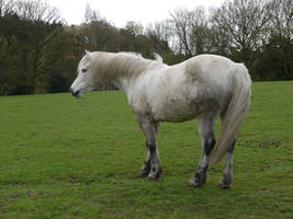 white horse stock 32 by HumbleBeez