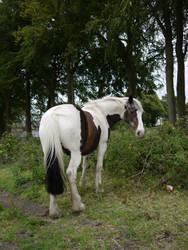piebald horse stock 1 by HumbleBeez